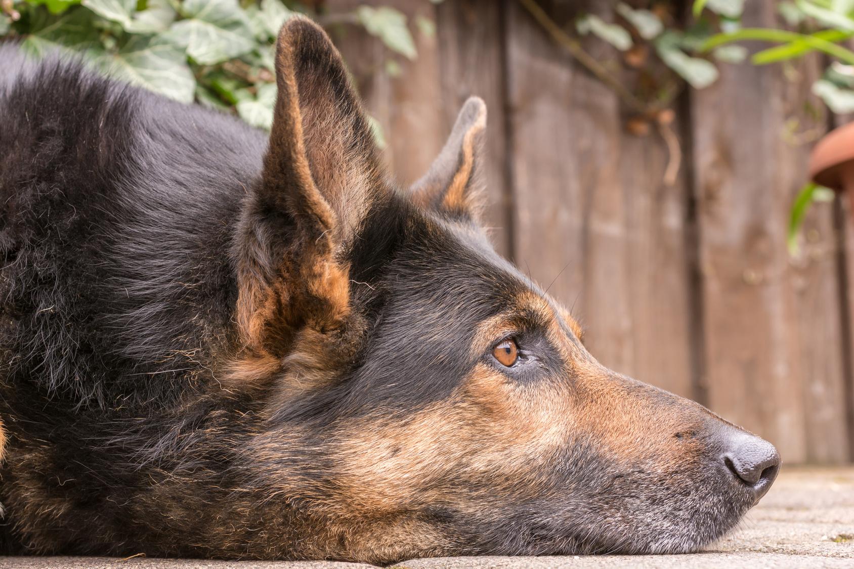 Schäferhund attackiert 6-Jährige Besitzerin schaut zu und haut ab!