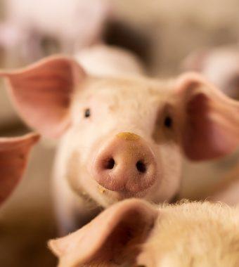 Auf Video aufgenommen und verschickt: Tierquäler zerquetscht 79 wehrlose Ferkel!