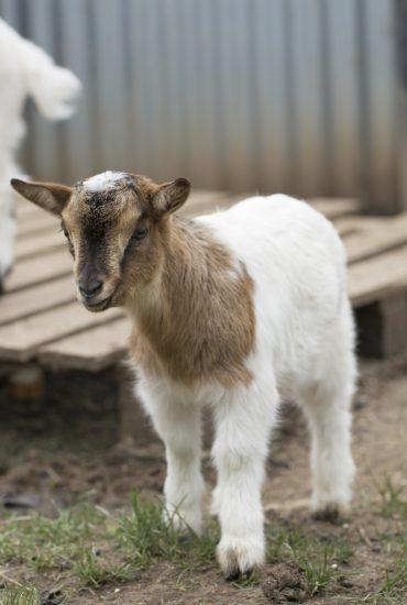 Abscheulicher Fall: Zwei Rumänen schlachten Ziege in Berliner Streichel-Zoo!